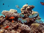image of damselfish  - A school of sergeant major damselfish on coral - JPG
