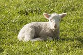 stock photo of pastures  - Spring lamb standing in a New Zealand paddock - JPG