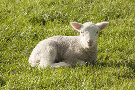 picture of baby sheep  - Spring lamb standing in a New Zealand paddock - JPG