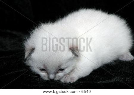 Maxaneee Kitten poster