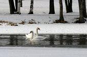 stock photo of rasta  - Mute Swan  - JPG