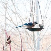 foto of blue jay  - Large blue jay eats bird seed from the feeder while a house wren and a sparrow wait their turn. ** Note: Visible grain at 100%, best at smaller sizes - JPG