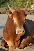 stock photo of zebu  - Indian brown cow resting on the beach Goa - JPG