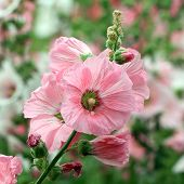 picture of hollyhock  - the beautiful hollyhock flower in the garden - JPG