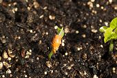 stock photo of rich soil  - Closeup horizontal photo of new bean plant coming out of rich earth soil - JPG