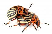 picture of copulation  - Two colorado beetles are copulating on the isolated background - JPG