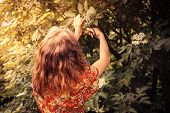 picture of elderflower  - A young woman is cutting elderflowers from a tree with scissors - JPG