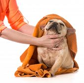 pic of cleanliness  - drying french bulldog off with a towel after bath - JPG
