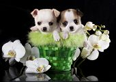 picture of chiwawa  - Chihuahua puppies and flowers orchid - JPG