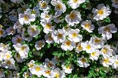 stock photo of climbing rose  - White roses climbing at a sunny wall - JPG