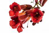 stock photo of trumpet flower  - Trumpet flowers lat - JPG