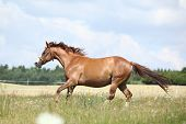 picture of bridle  - Amazing chestnut horse with bridle running on meadow