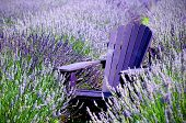 stock photo of lavender field  - Lavender fields of St - JPG