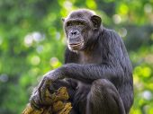 pic of omnivore  - Portrait of a Common Chimpanzee in the wild - JPG