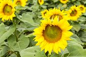 foto of sunflower  - Large happy sunflower and sunflower oil crop on a sunny day in the Tarn - JPG