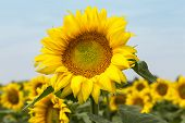 stock photo of sunflower  - Large happy sunflower and sunflower oil crop on a sunny day in the South of France with a blue sky behind - JPG