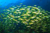 pic of bigeye  - School yellow fish  - JPG