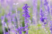 picture of salvia  - Blue Salvia  - JPG