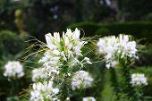 image of royal botanic gardens  - Spiderflower Cleome - JPG