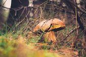foto of coniferous forest  - Beautiful wild mushroom hidden in coniferous forest - JPG