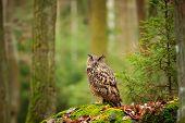 pic of snow owl  - Eurasian eagle - JPG