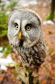 image of northern hemisphere  - Great grey owl in the winter forest - JPG