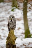 picture of northern hemisphere  - Great grey owl in the winter forest - JPG