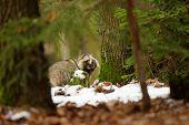 image of raccoon  - Raccoon dog walking in the winter forest - JPG