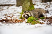 pic of raccoon  - Raccoon dog walking in the winter forest - JPG