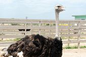 foto of poultry  - Big domestic ostrich in the poultry yard - JPG