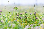picture of red clover  - Flowering clover  - JPG