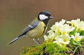 picture of tit  - Great tit standing next to primrose flower - JPG