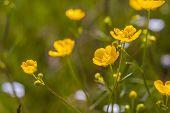 stock photo of buttercup  - Beautiful springtime buttercups flowers growing on wild meadow - JPG