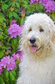 pic of impressionist  - Goldendoodle dog in a rhododendron garden with impressionistic effect - JPG
