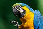Blue-and-yellow Macaw - (Ara ararauna)