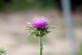 foto of scottish thistle  - Pink thistle in their habitat with blurred background - JPG