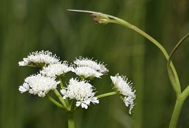 pic of rare flowers  - Corky-fruited Water-dropwort - Oenanthe pimpinelloides Rare wet grassland flower - JPG