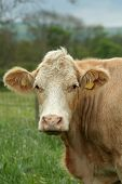image of charolais  - Wonderful charolais cow in a summer pasture - JPG