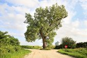 A 158 year old cottonwood tree grows in the middle of an intersection in rural Audubon County, Iowa