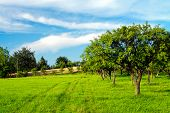 foto of orchard  - Apple orchard on blue sky - JPG
