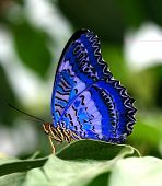 picture of blue butterfly  - Blue butterfly on green leaf - JPG