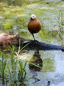 foto of gadwall  - Duck reflection water bird pond animals lake blue scene nature tranquil gadwall green teal foot feather orange  - JPG