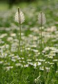 stock photo of ribwort  - Inflorescence of Ribwort Plantain. Herbal Remedy. Plantago.