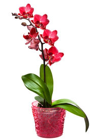 stock photo of flower pot  - orchid in a pot isolated - JPG