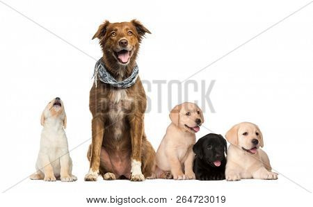 poster of Groups of dogs, Labrador Puppies, Labrador Australian Shepherd crossbreed dog, in front of white bac