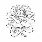 Black And White Rose Flower With Leaves And Stem. Vector Illustration Of Open Rose Bud. Hand Drawn S poster