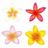 Set Of 4 Colorful Fragipani, Isolated On White