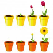 image of stature  - Daisy And Tulip In Pots - JPG