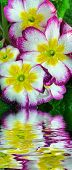 stock photo of transpiration  - Beauty flower of spring  with drips of dew - JPG