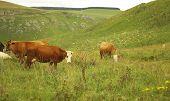 Serene Herd Of Cows Grazing On Ths Summer Alpine Grassland poster